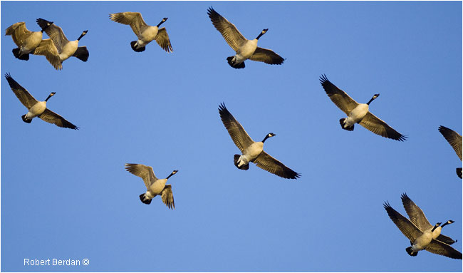 Canada Geese migrating north by Robert Berdan ©