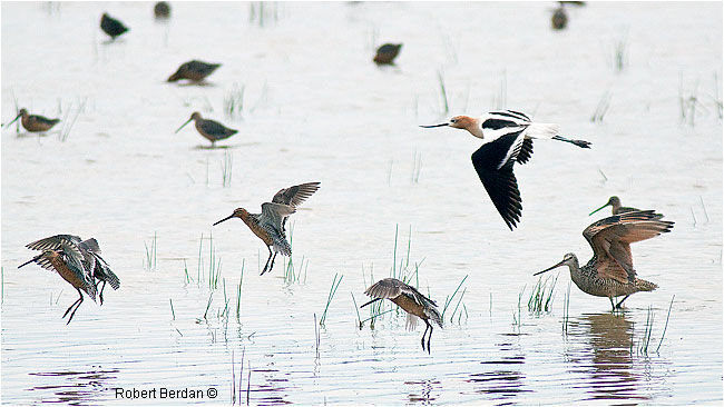 Shorebirds, Avocet, Marbled Godwit and long-billed Dwotchers landing by Robert Berdan ©