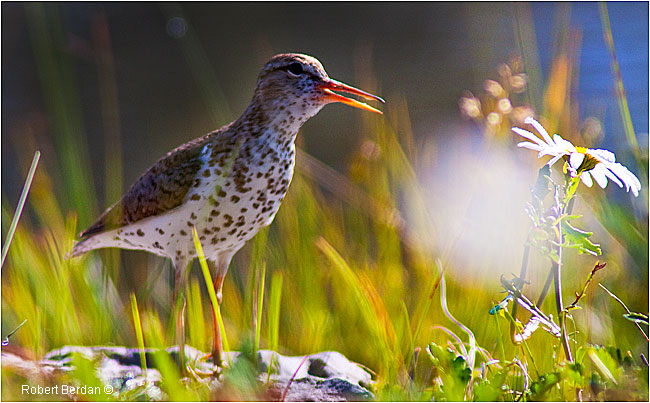 Spotted Sandpiper by Robert Berdan ©