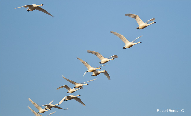 Tundra Swans flying in V formation by Robert Berdan ©