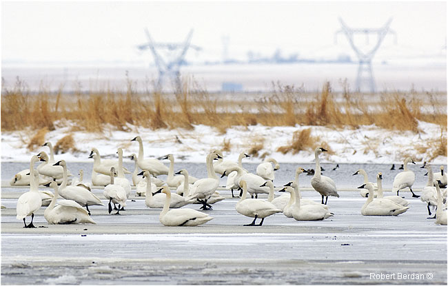 Tundra swans on ice Frank Lake AB by Robert Berdan