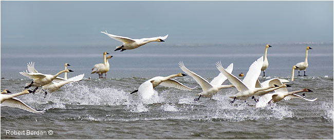 Tundra swans taking off from Bow Resevoir by Robert Berdan ©