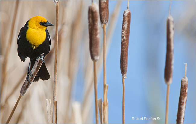 Yellow-headed blackbird on cattail by Robert Berdan ©