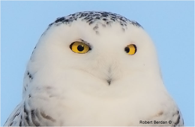 Female snowy owl showing closeup of the eyes by Robert Berdan ©