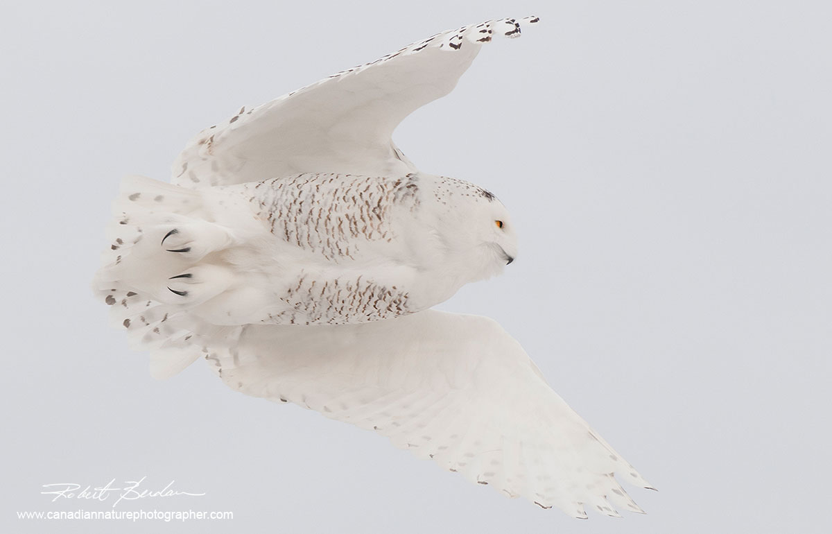 White on white a snowy owl taking flight from a telephone pole against an overcast white sky by Robert Berdan ©