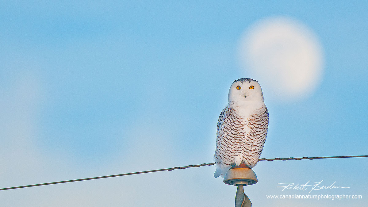 Snowy owl perched on a telephone pole with full moon behind it by Robert Berdan ©