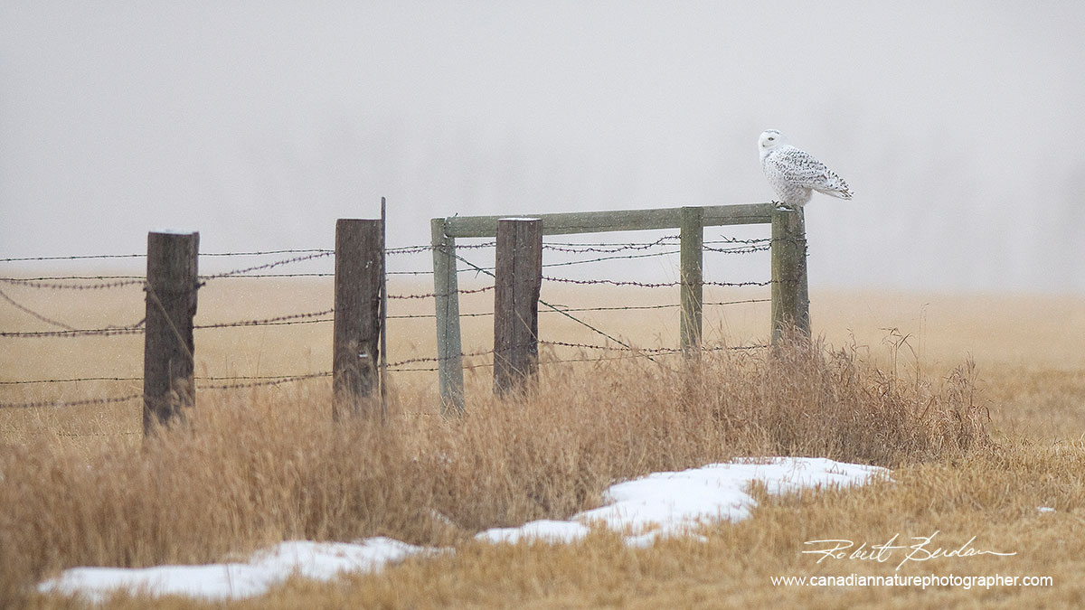 Snowy owl perched on a fence post near Calgary by Robert Berdan ©