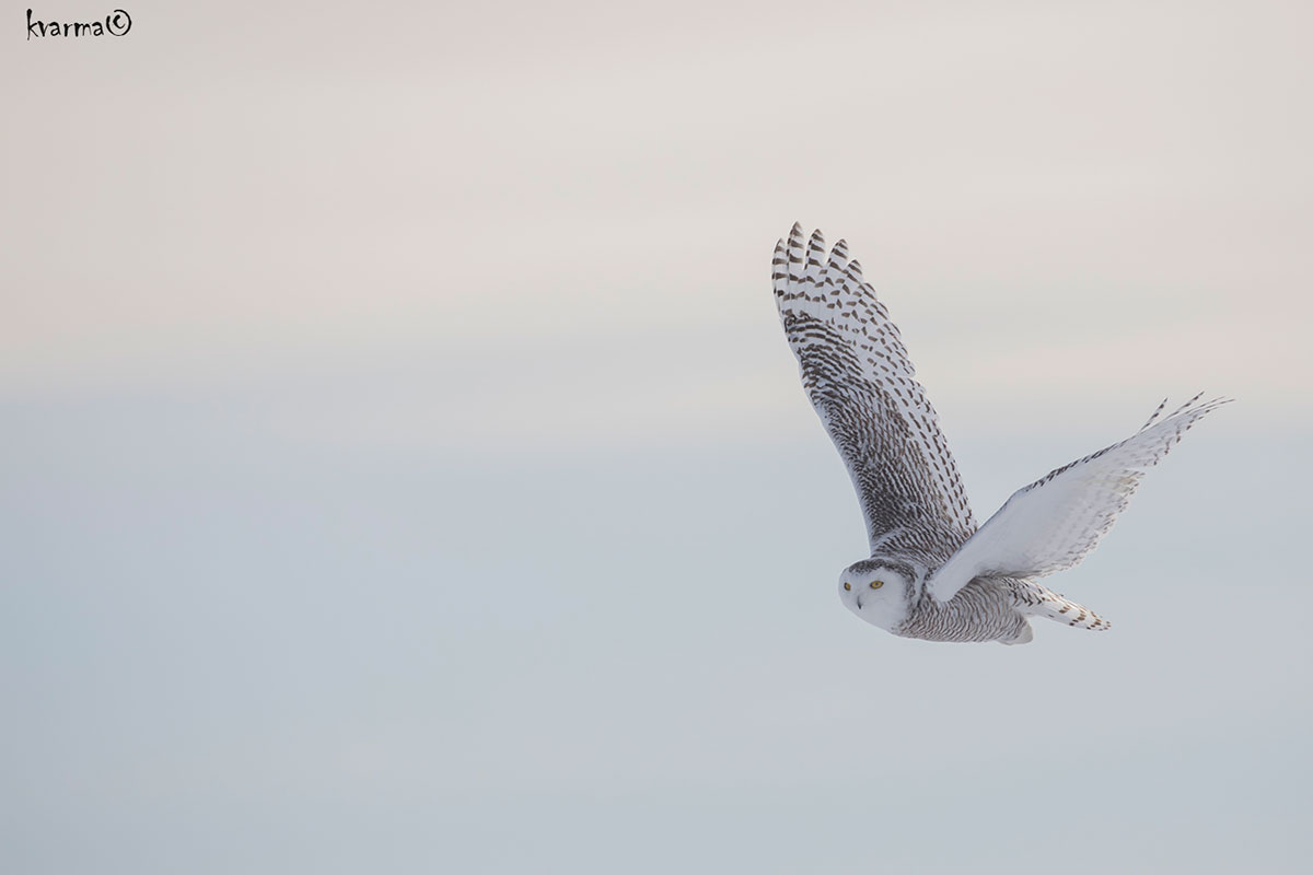 In flight photograph of a snowy owl by Kamal Varma ©