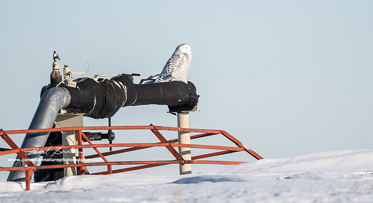 Snowy owl perched on gas pipeline by Robert Berdan ©