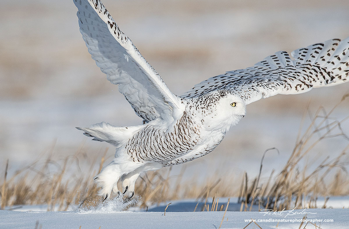 Snowy owls thickly feathered feet protect the bird when temperatures dip below - 30°C by Robert Berdan ©