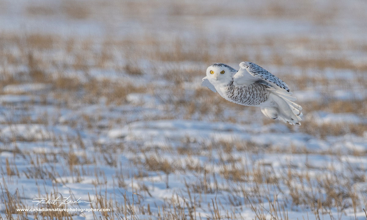 Female snowy owl in flight - photographed with Nikon D500 and 500 mm F4 lens by Robert Berdan ©
