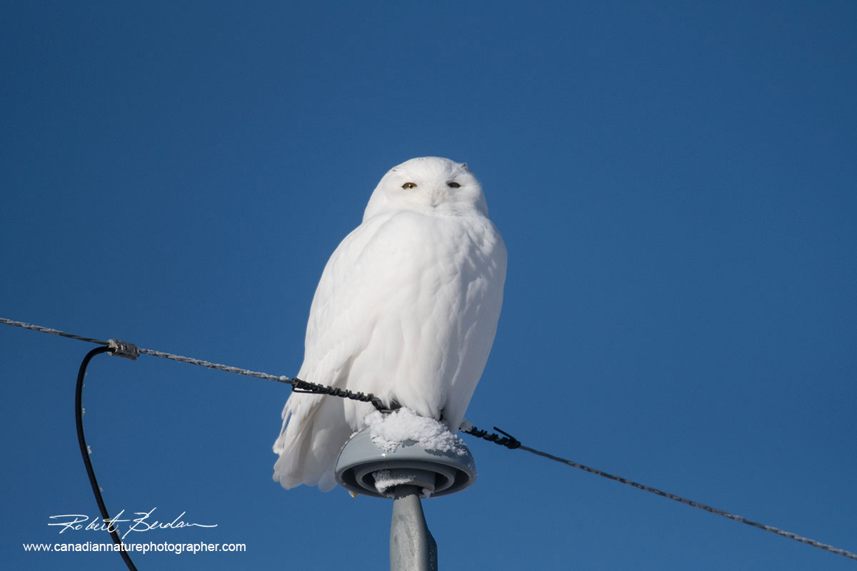 Male snowy owl perched on a telephone pole  by Robert Berdan ©