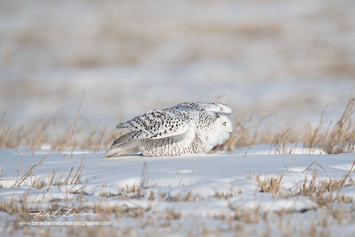 Snowy owl lifting its shoulders and is about to take flight by Robert Berdan ©
