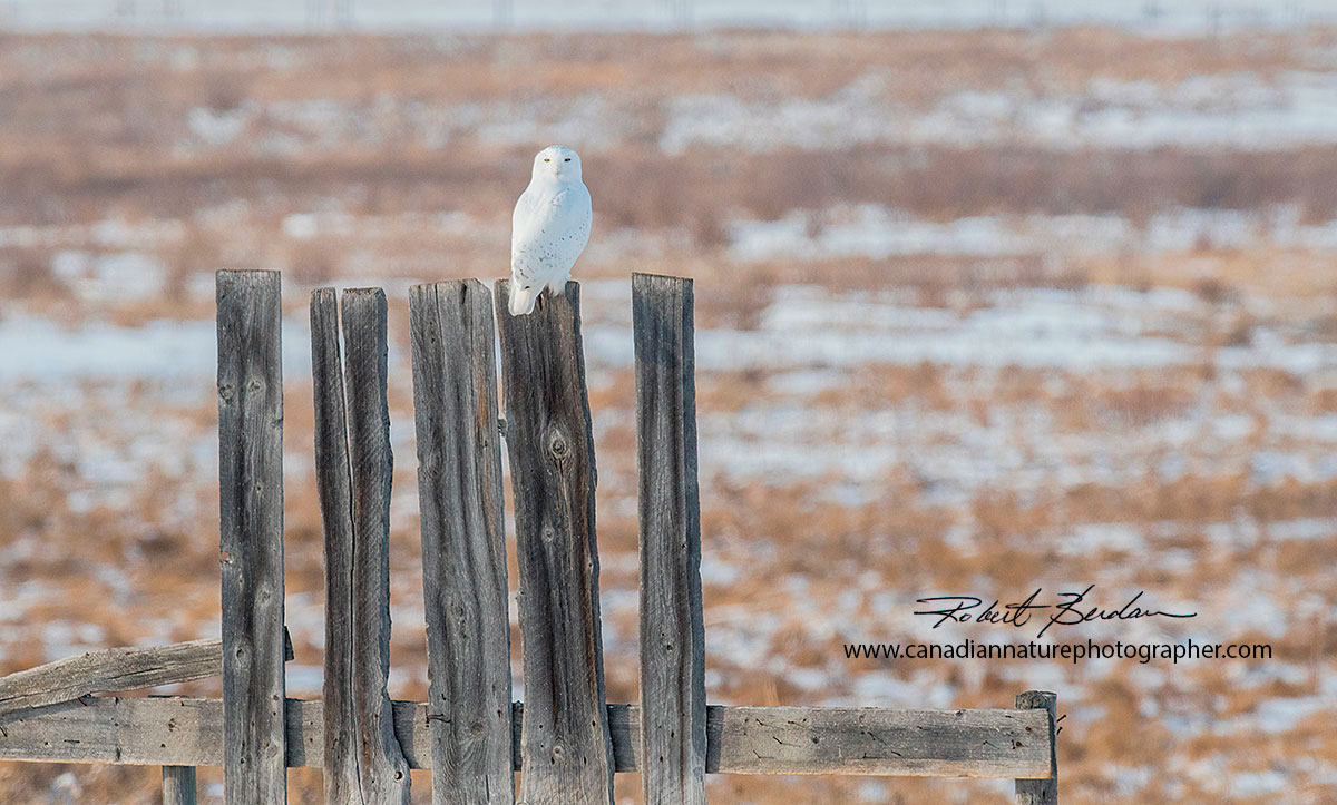 Snowy owl perched on a tall fence  south of Calgary, AB by Robert Berdan ©