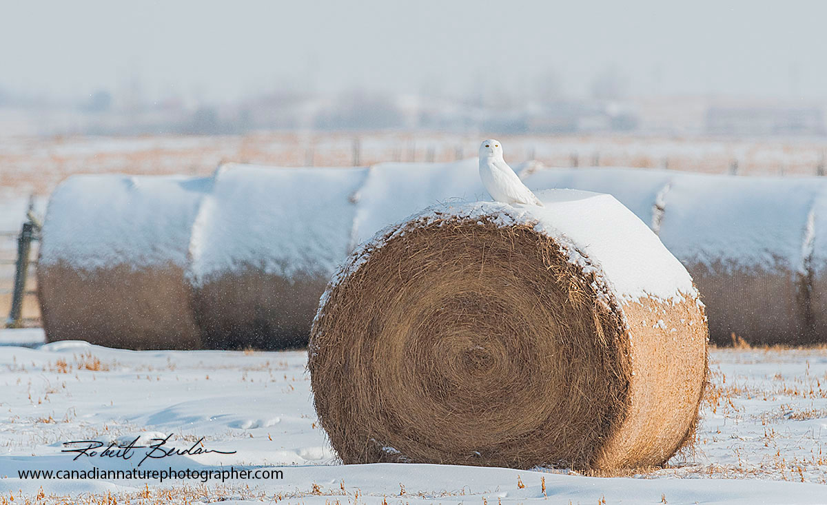 Snowy owl perched on a hay bale by Robert Berdan ©