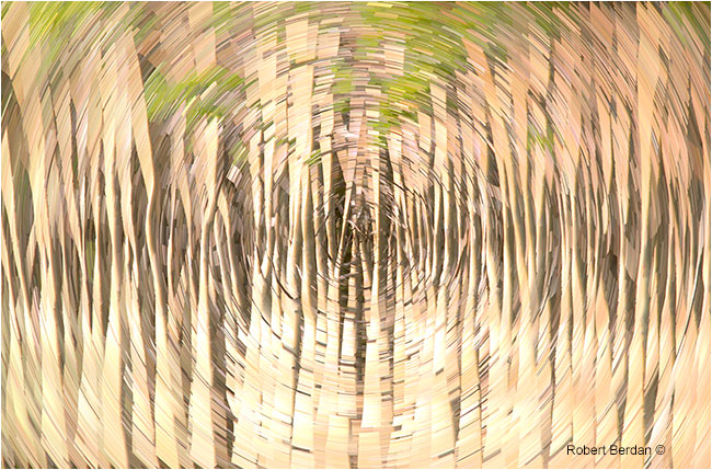Aspen trees with star trail filter fby Robert Berdan ©