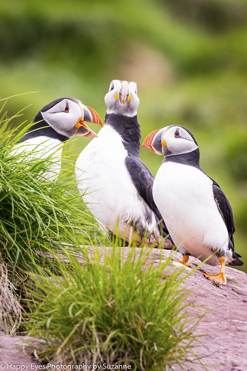 Puffins by Suzzane Roberts ©