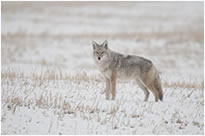 Coyote full frame taken with the Tamron 150-500 mm lens by Robert Berdan ©