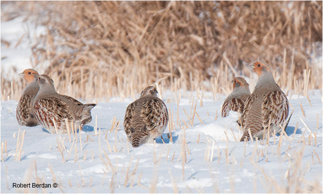 Hungarian Partridges photographed with Tamron 160-600 mm telephoto lens by Robert Berdan ©