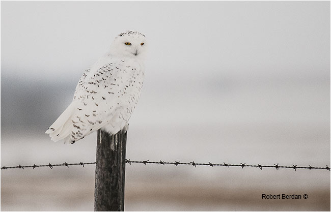 Snowy owl photographed with Tamron 150-600 mm lens by Robert Berdan ©