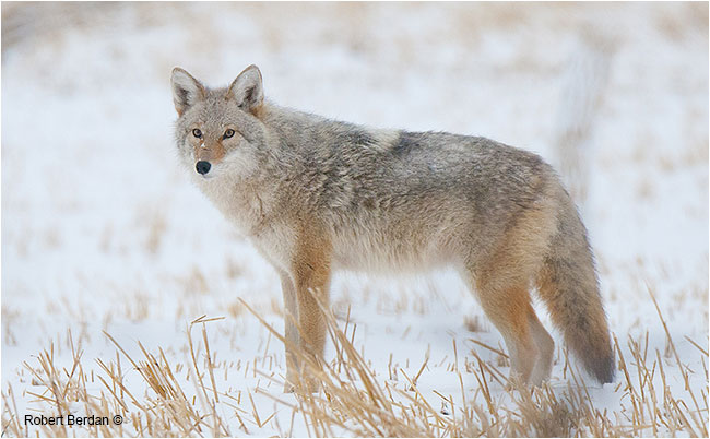 Coyote photographed with Tamron 150-600 mm lens by Robert Berdan ©