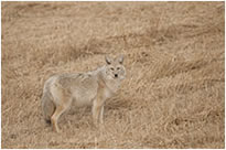 coyote full frame image taken with Nikon 500 mm f/4 lens by Robert Berdan ©