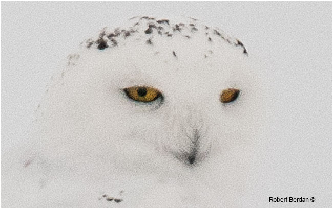 Closeup of Snowy Owl photographed with Tamron 150-600 mm lens by Robert Berdan ©