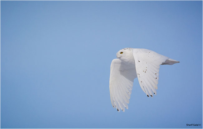 snowy owl in flight by Dr. Sharif Galal ©