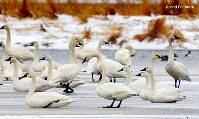 Tundra swans on ice showing their yellow eye patch by Robert Berdan ©