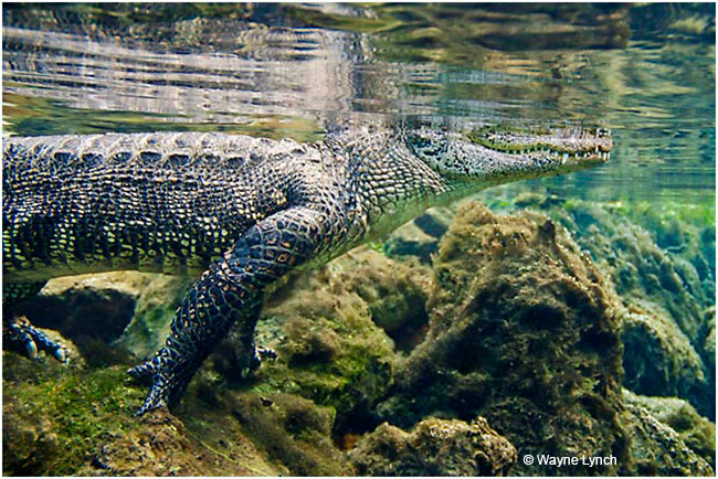 Adult Gator surveying the shoreline by Dr. Wayne Lynch ©