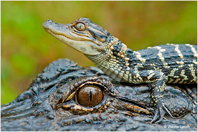 Gator Hatchling resting on mothers head by Dr. Wayne Lynch ©