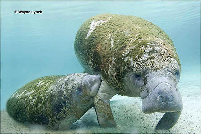 Manatee nursing mother and calf by Dr. Wayne Lynch ©