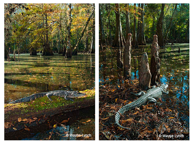 Gators basking by Dr. Wayne Lynch ©