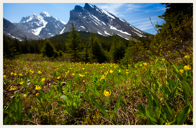 Glacier Lily (Erythronium grandiflorum) meadow along Elbow river near Elbow lake with Mt. Rae in the background. Mid June.  by Robert Berdan ©