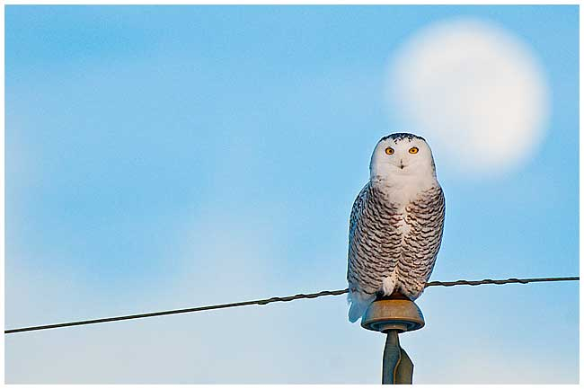 Snowy Owl by Robert Berdan  ©