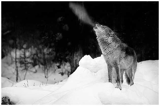 Wolf howl in winter by Robert Berdan ©