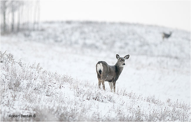 Female mule deer in winter by Robert Berdan