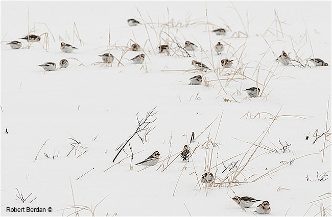 Snow buntings in winter field by Robert Berdan ©