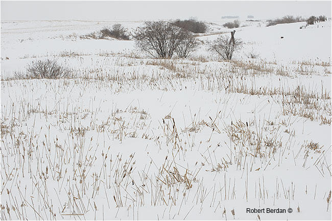 Cattails in winter field by Robert Berdan