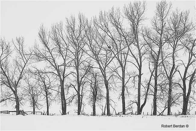 Tree in winter form a fence in the snow by Robert Berdan ©