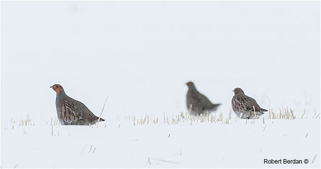 Gray Partridges in winter by Robert Berdan ©