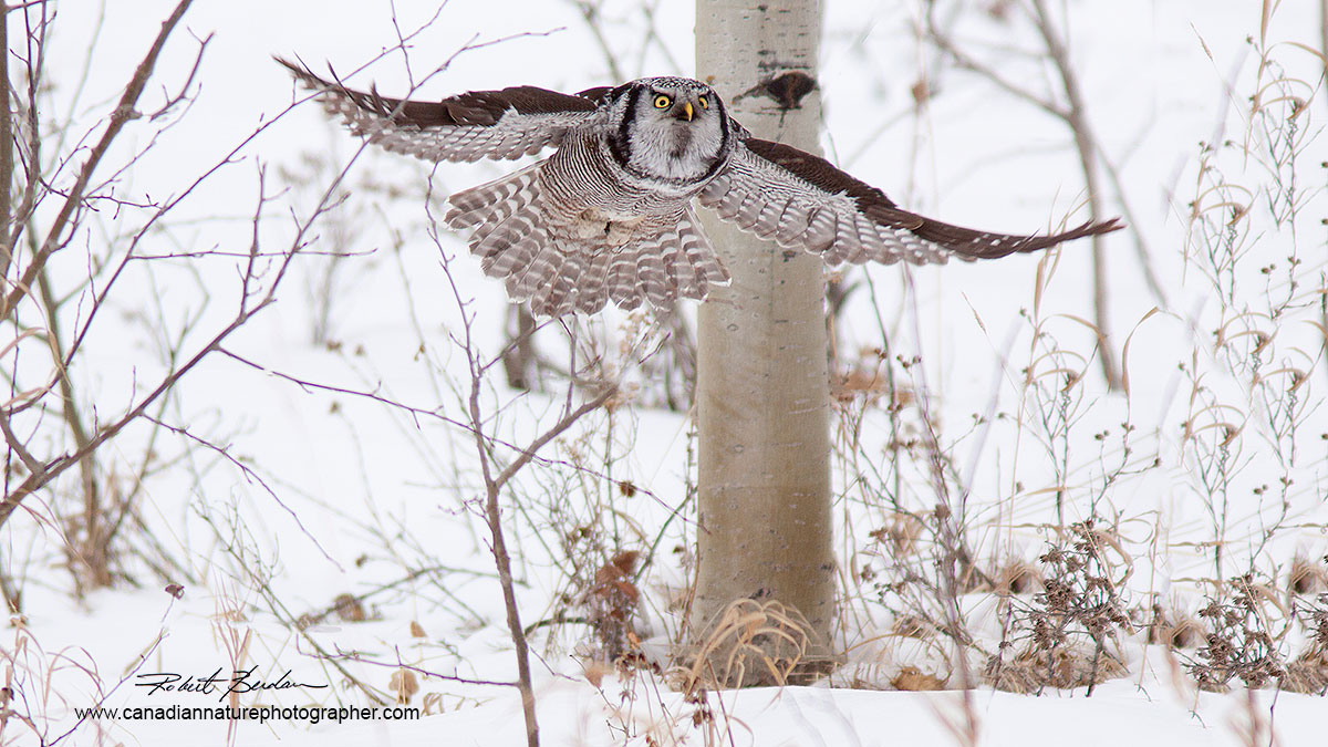 Northern Hawk Owl photographed from car window North of Calgary  by Robert Berdan ©