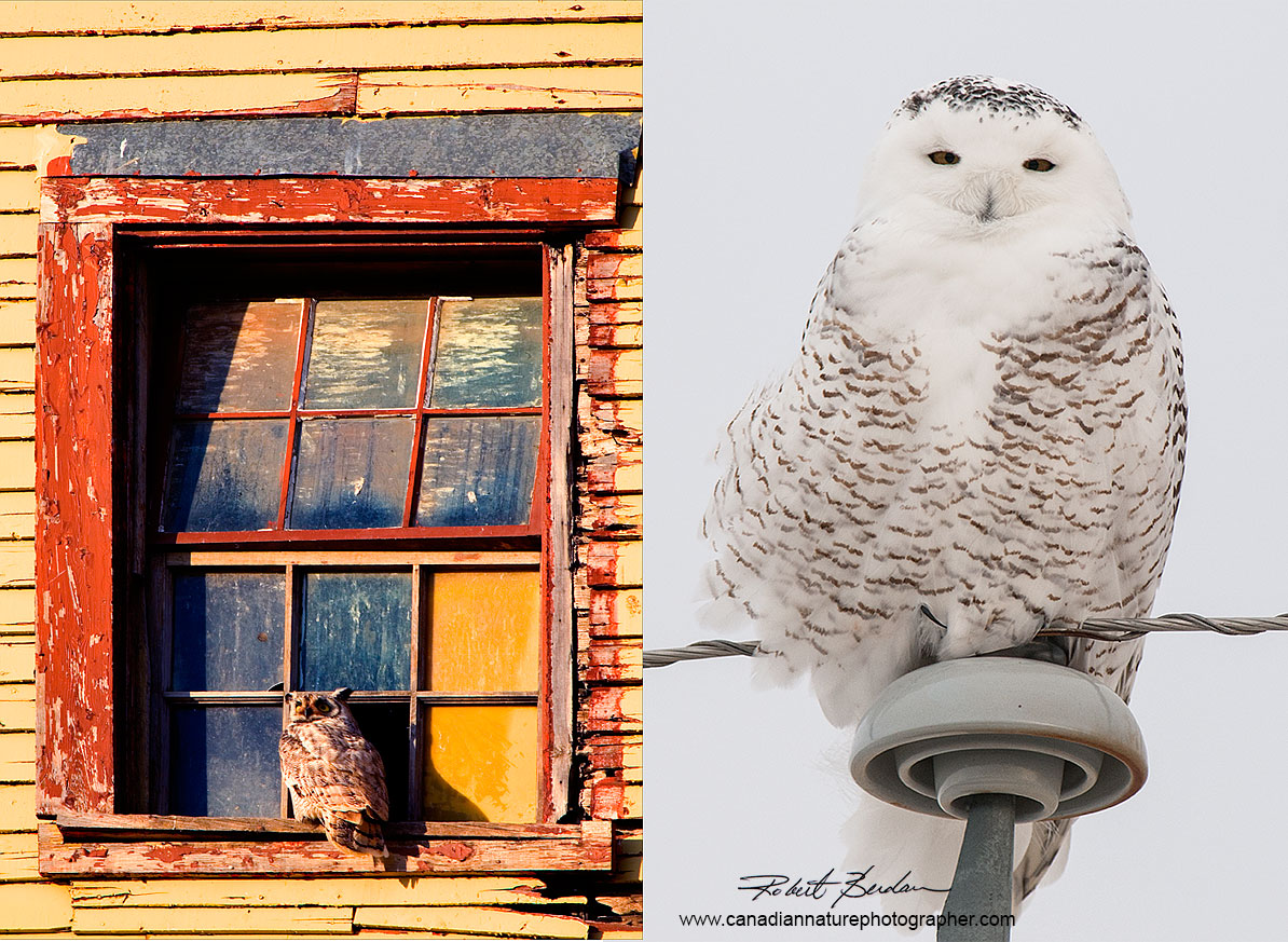 Left: Great Horned Owl in Window Right: Female snowy owl on Telephone pole (300 mm F-2.8 lens)  by Robert Berdan ©