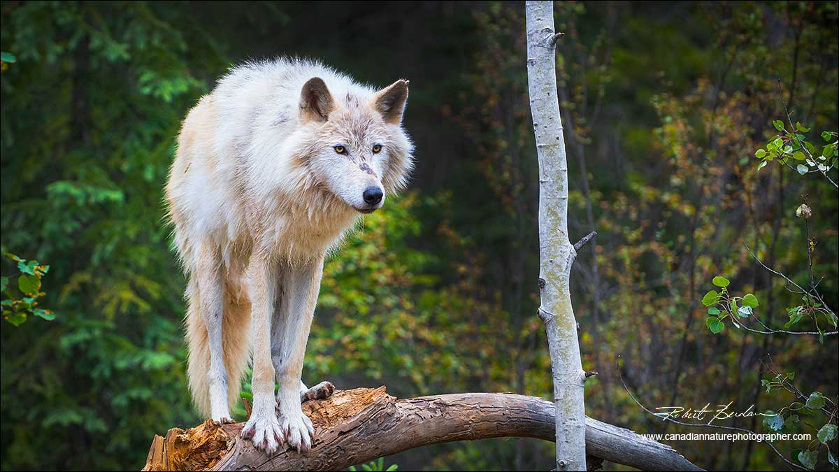 Wolf on branch by Robert Berdan ©