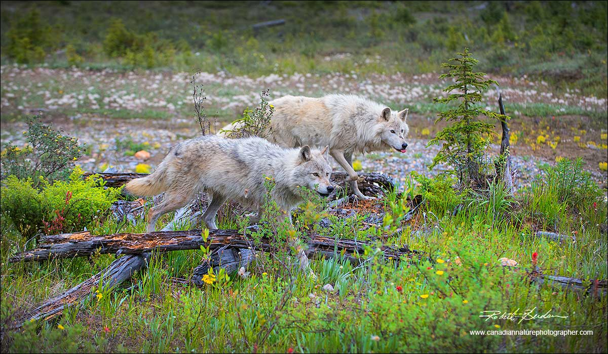 Two wolves by Robert Berdan ©