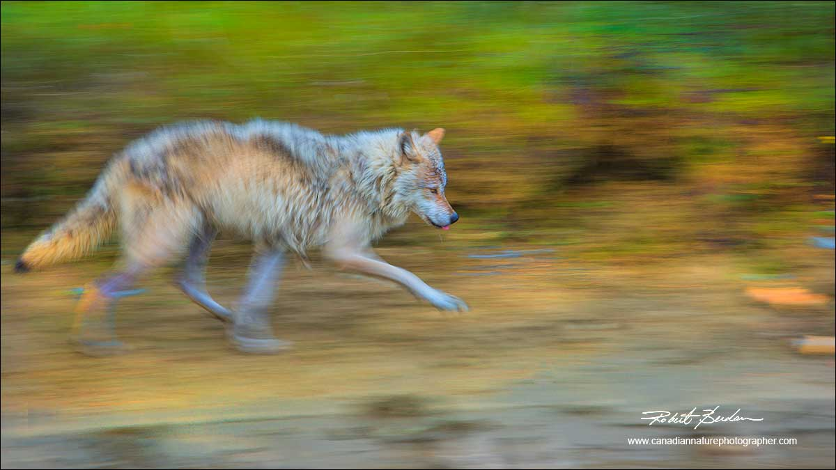 Wolf in motion with blurred background by Robert Berdan ©