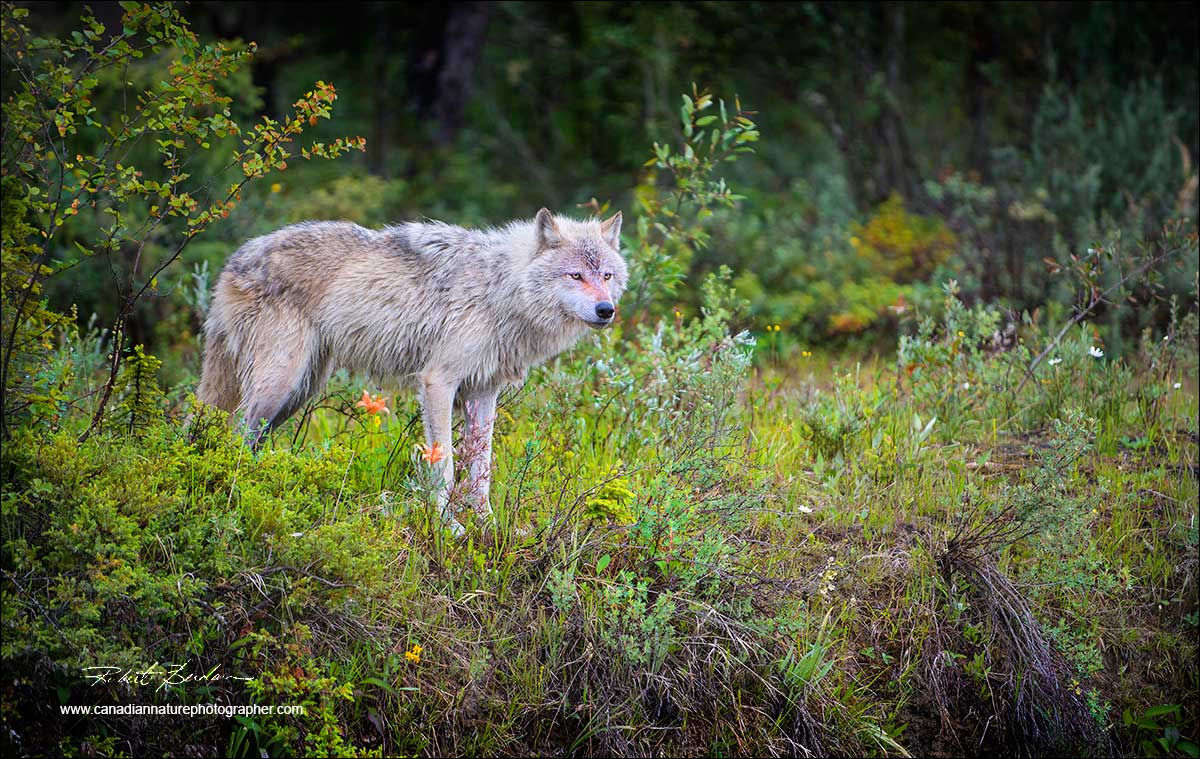 Wolf ialong river bank by Robert Berdan ©